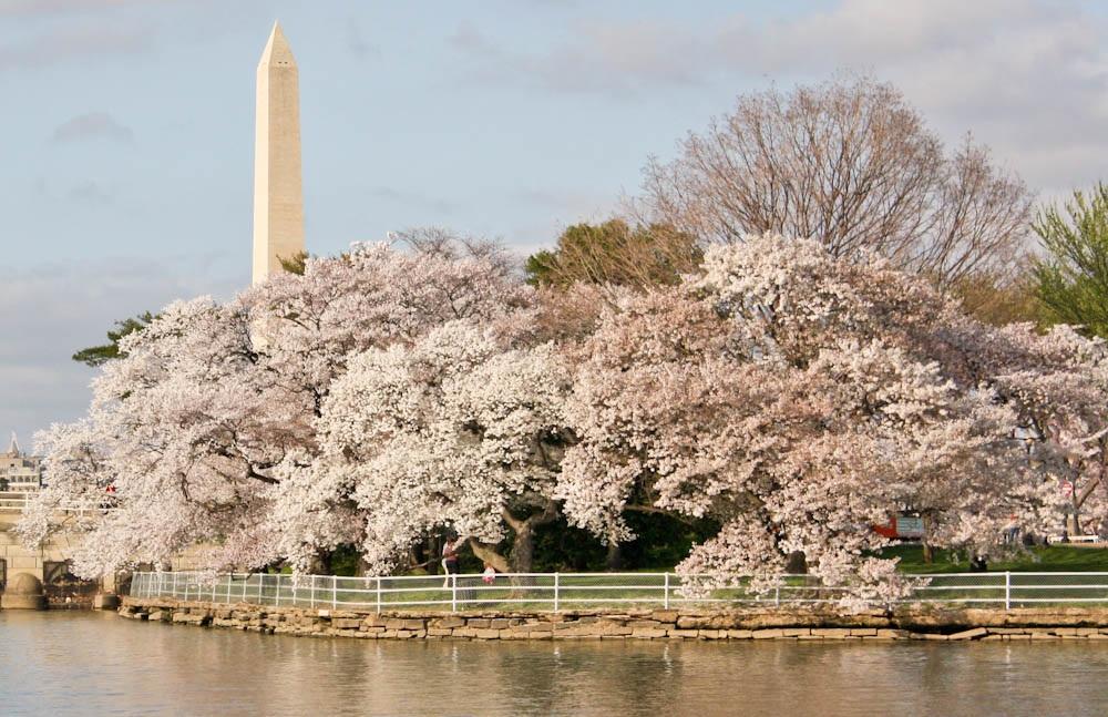 cherry-blossoms-dc-1